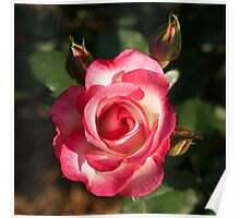 Two Tone Rose Poster