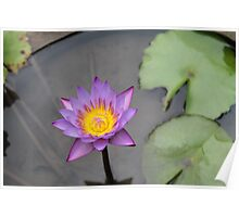 Water Lily Perfection Poster