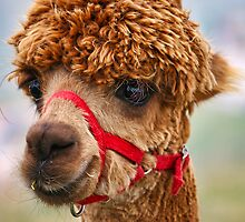 Alpaca by JPassmore