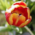 Tulip close up by Queenicorn