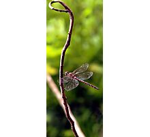 Dragonfly #3 Photographic Print