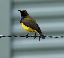 Yellow-bellied Sunbird by triciaoshea