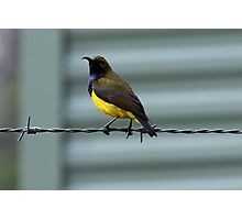 Yellow-bellied Sunbird Photographic Print