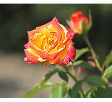 Rose HDR Photographic Print