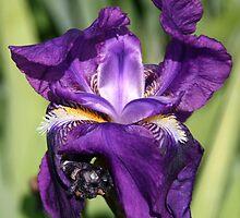 Like Iris on a Spring day.. by Nira Dabush