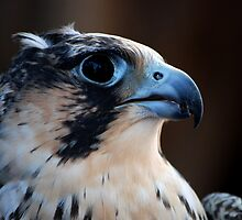 Peregrine Profile_2 by KeithRandall