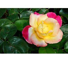Hybrid Rose Photographic Print