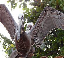 Pelicans II - Pelicanos by Bernhard Matejka