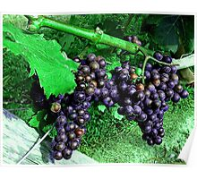 Rich Purple Grapes at Newport Vineyard, Newport RI Poster