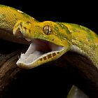 Green tree python striking by AngiNelson