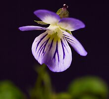 Dog Violet by Otto Danby II