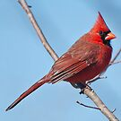 Male Cardinal by barnsis