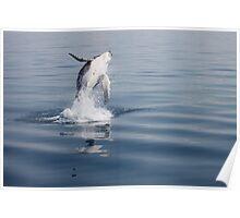 Breaching Humpback Whale Calf Poster
