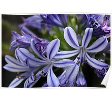 Purple and white flowers Poster