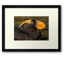 Pacific Puffin Framed Print