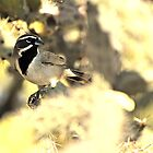 Black Throated Sparrow in the cactus by levipie