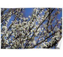 Plum Blossom Poster