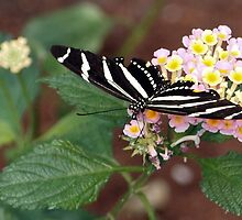 Zebra Longwing on Lantana by Linda  Makiej