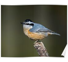 Red Breasted Nuthatch Poster