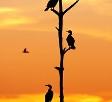 Cormorants Sunset by John Hartung