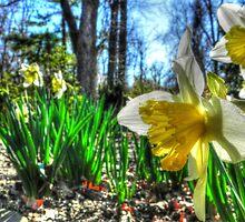 Daffodils Defy the Calendar  by bannercgtl10