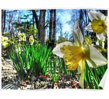 Daffodils Defy the Calendar  Poster