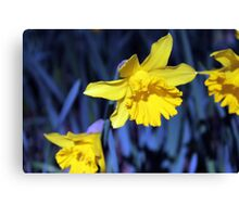 Yellow Daffodil in August Canvas Print