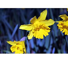 Yellow Daffodil in August Photographic Print