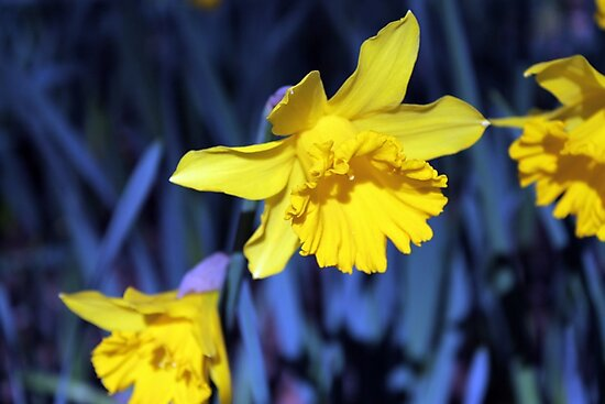Yellow Daffodil in August by Steven Cousley
