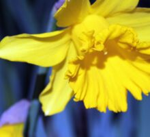 Yellow Daffodil in August Sticker