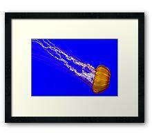 Pacific Sea Nettle Framed Print