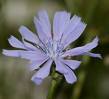 Chicory (please view large) by AnnDixon