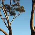 Gum Trees. by glenlea