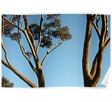 Gum Trees. Poster