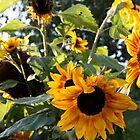 Sun Flowers. by glenlea
