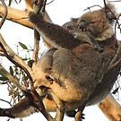 Koala cuddle - Skye, South Australia by Dan & Emma Monceaux