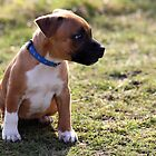 Staffordshire Bull-Terrier Puppy by Anthony  Poynton