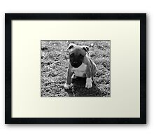 Staffordshire Bull-Terrier Puppy Framed Print