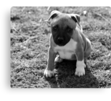 Staffordshire Bull-Terrier Puppy Canvas Print