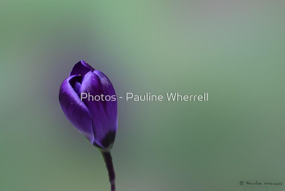 My first crocus by Photos - Pauline Wherrell