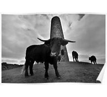 Cornwall: Cows at Stepper Point Poster