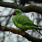 Green Ringneck Parakeet by mike  jordan.