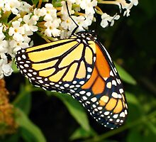 Thirsty Monarch Butterfly by Christian  Bennion