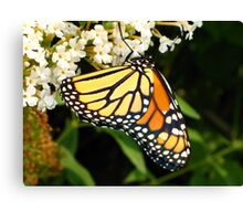 Thirsty Monarch Butterfly Canvas Print