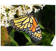 Thirsty Monarch Butterfly Poster