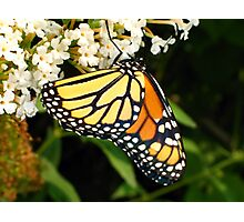 Thirsty Monarch Butterfly Photographic Print