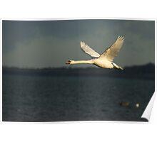 Mute swan in flight Poster