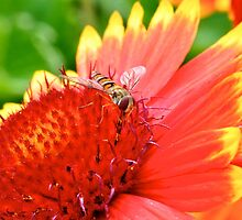 Hover Fly by ColinKemp