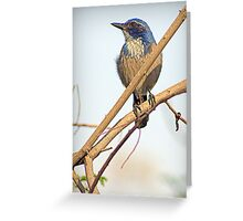 Western Scrub-Jay Greeting Card