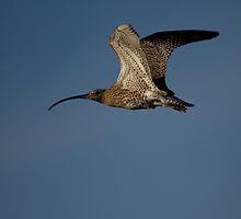Curlew in Flight by Jon Lees